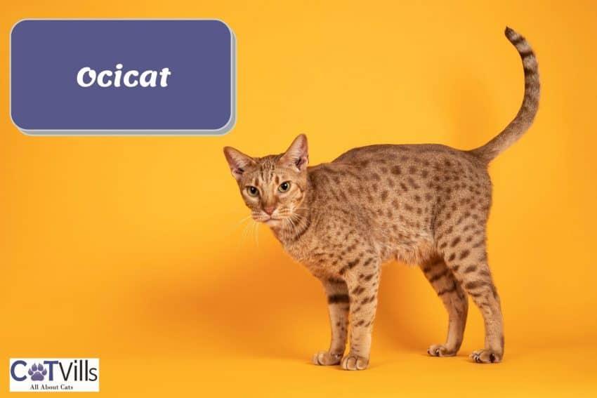 gorgeous Ocicat with a plain orange background