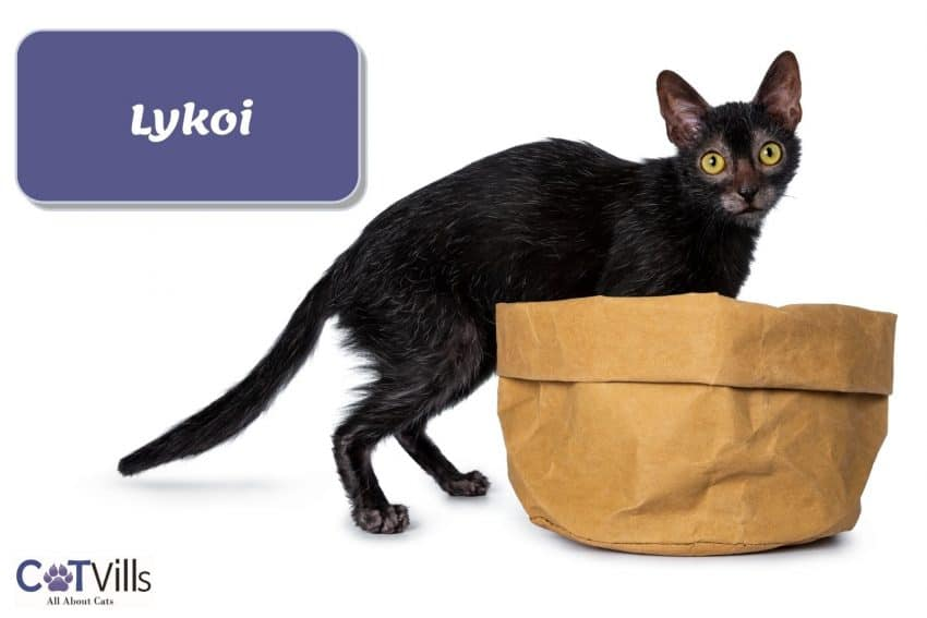 Lykoi cat that looks like a wolf
