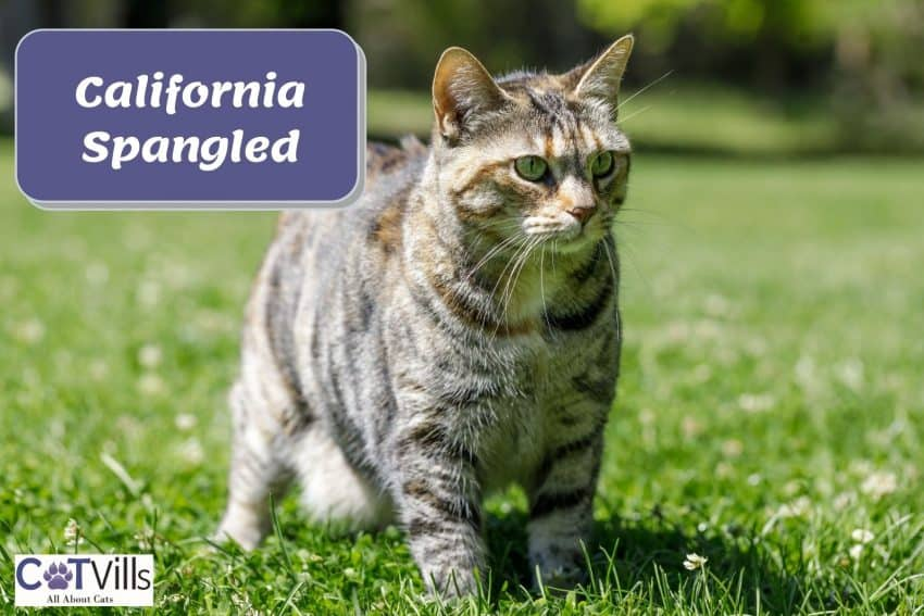 California Spangled cat walking on the grasses