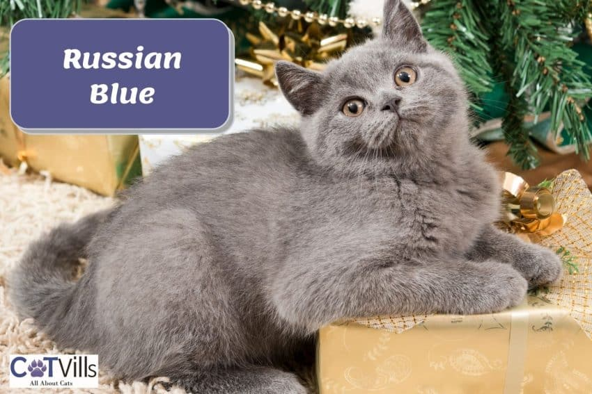 gray Russian blue cat lying on top of a gift box