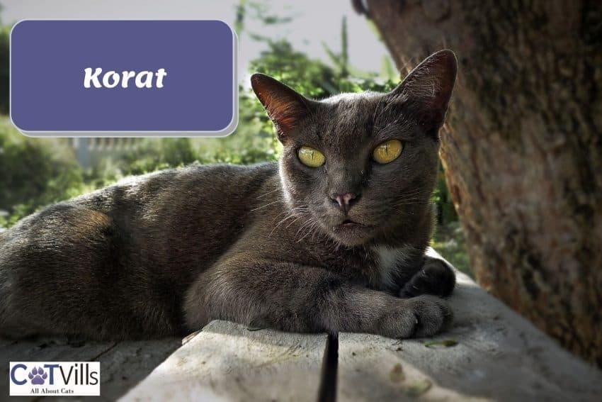 Korat cat with yellowish eyes