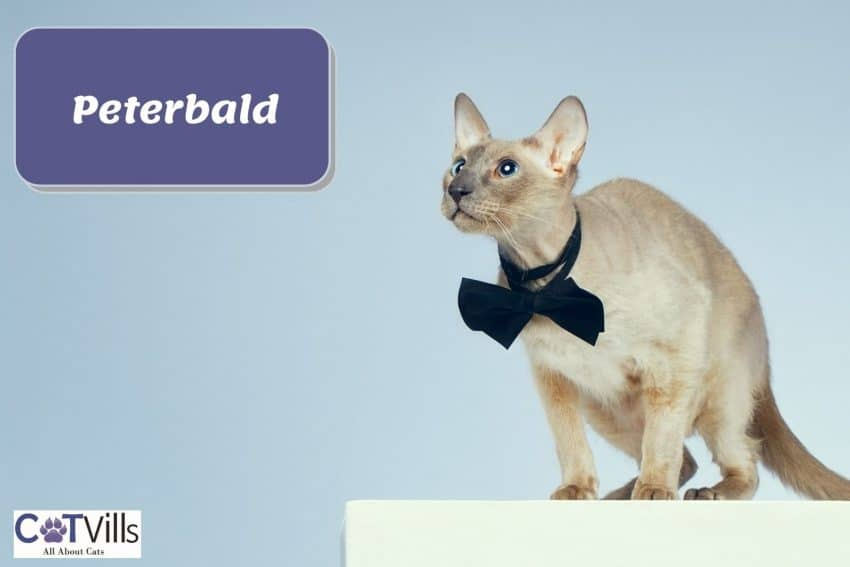 Peterbald cat with a black bow tie