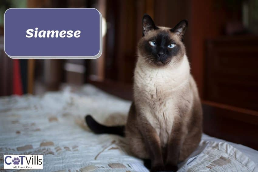 blue-eyed Siamese cat sitting on the bed