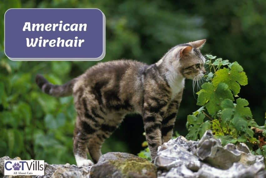 American wirehair cat smelling some leaves