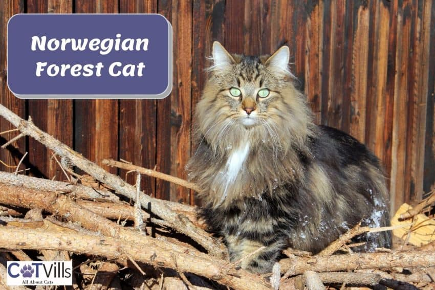 Norwegian forest cat sitting on the branch of trees