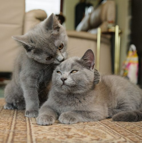 Chartreux kittens grooming each other