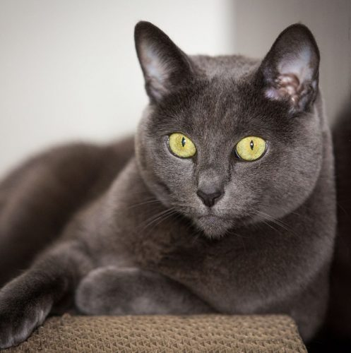 a very gorgeous grey cat with large yellow eyes