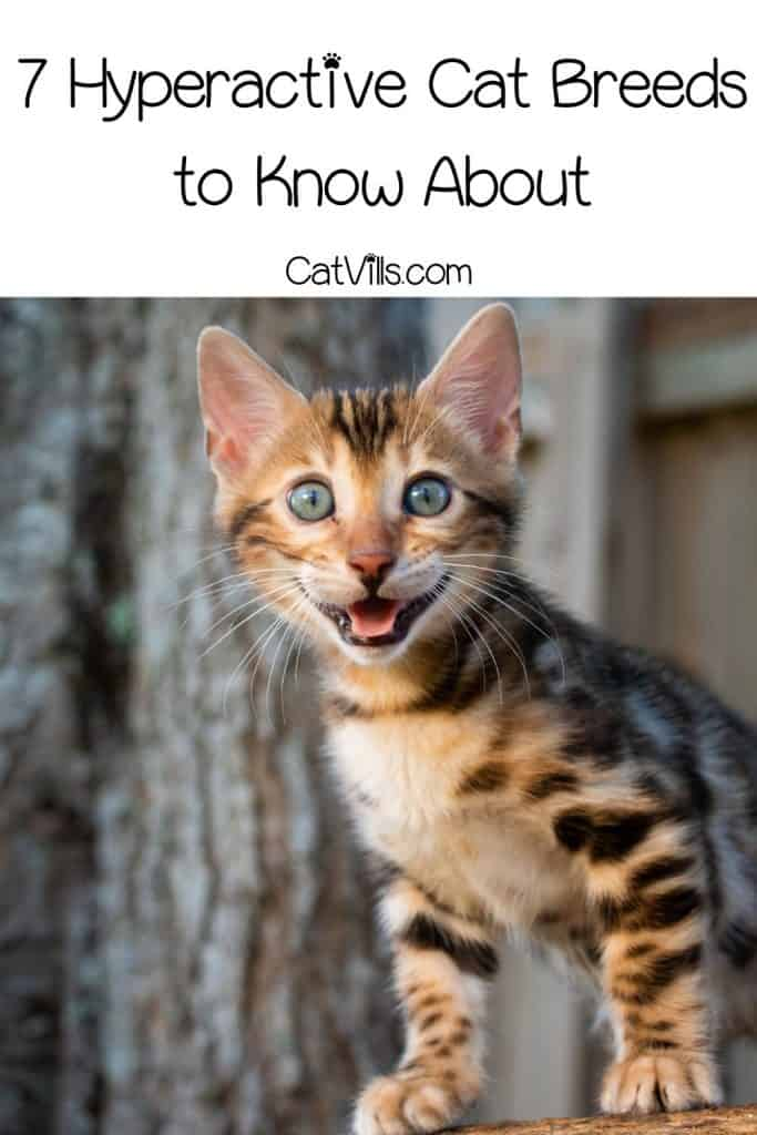 a growling bengal hyperactive cat breed