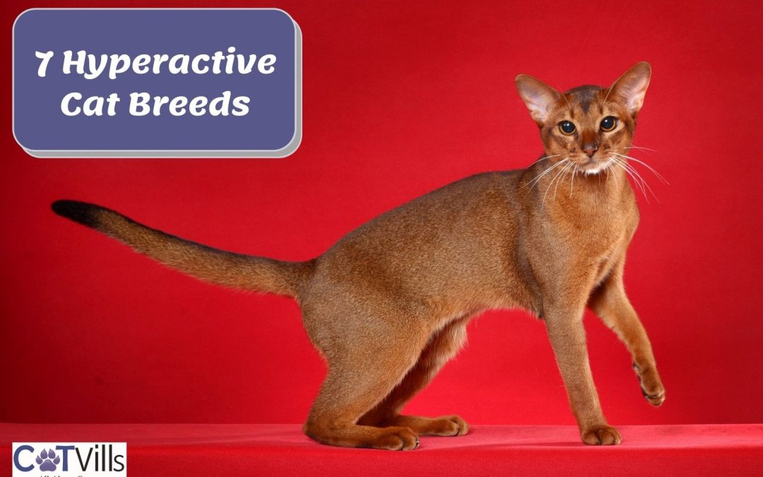 7 Most Hyper Cat Breeds + 5 Reasons of This Behavior