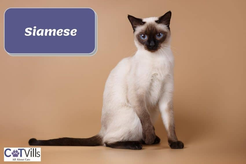 a very adorable Siamese cat