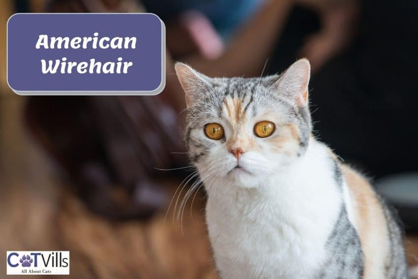American Wirehair cat with large orange eyes