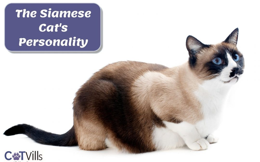 All About The Siamese Cat (Personality, Temperament & More)