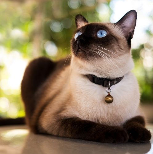 a well-tempered Siamese cat (Siamese cat personality)