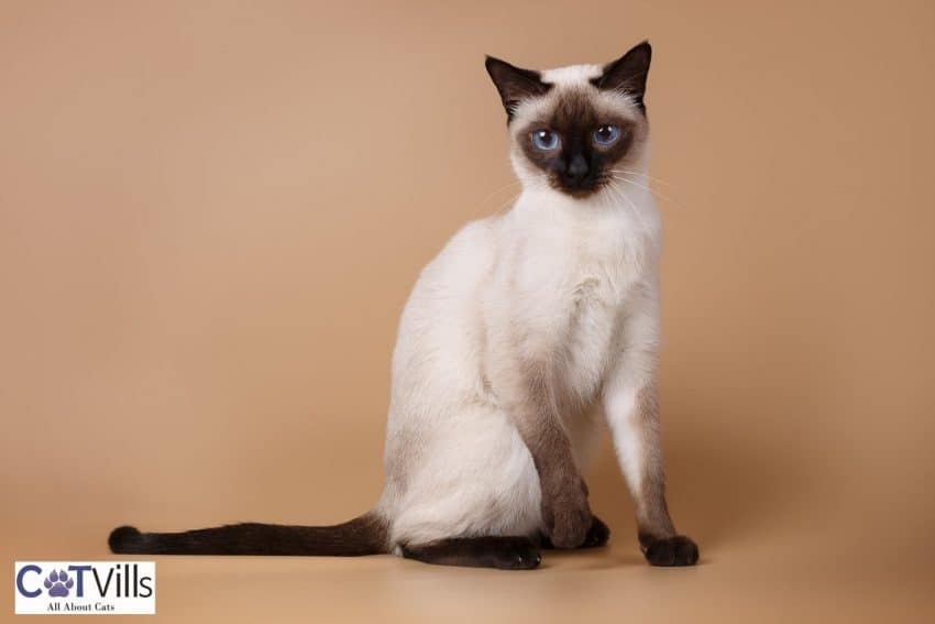 super cute young Siamese cat with plain brown background