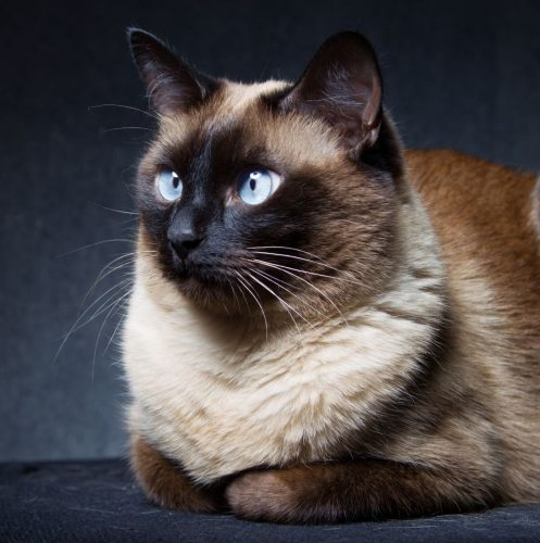Siamese cat in a loaf position