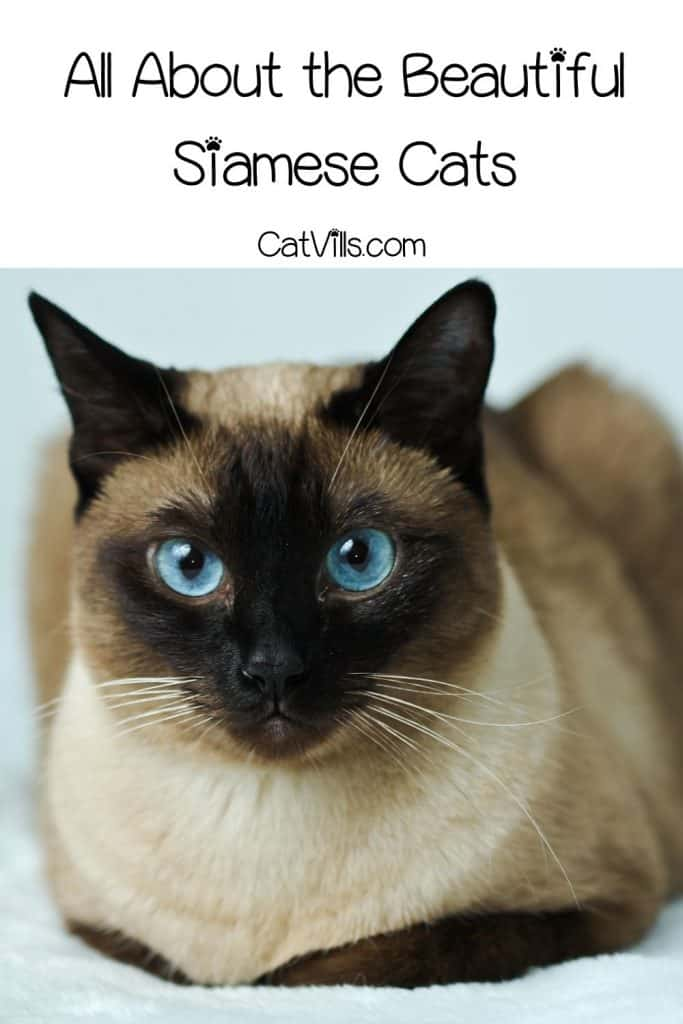 a cute blue-eyed siamese cat: siamese cat personality
