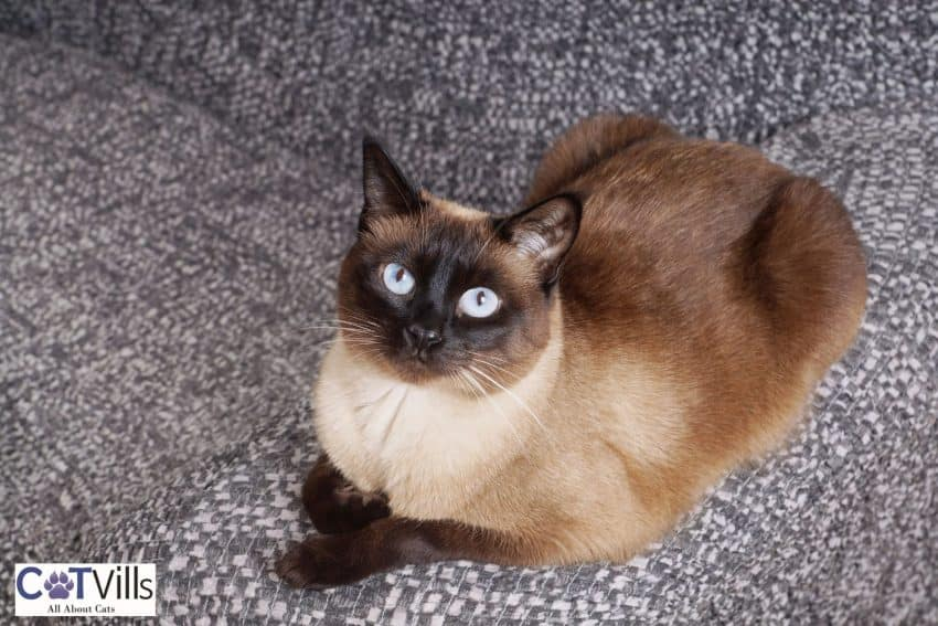 a big, fluffy Siamese cat sitting on the couch