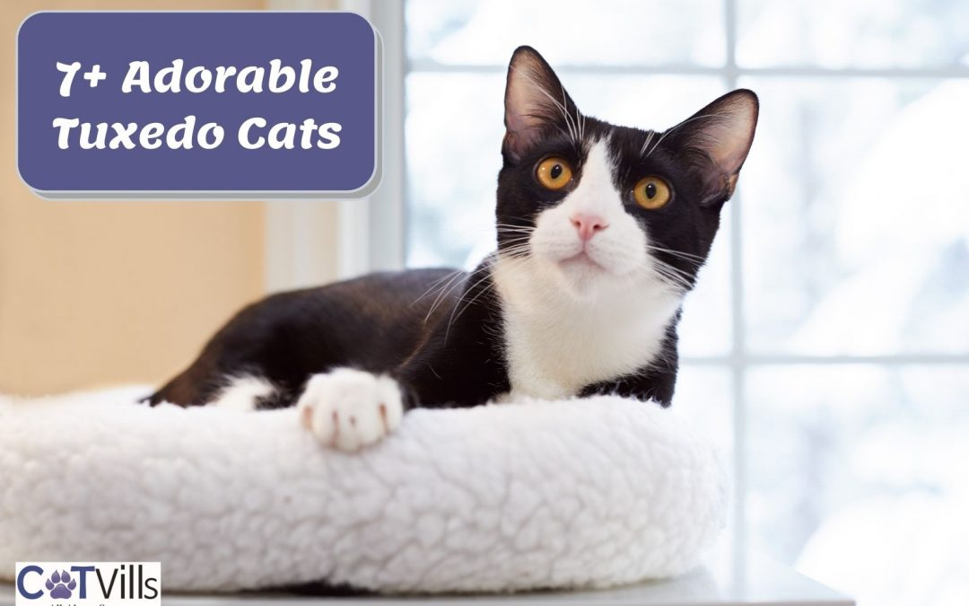 Tuxedo Cat Breed [Amazing Things You Should Know]