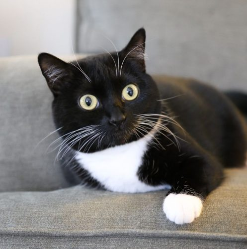 a tuxedo cat with white marking on the chest and paws