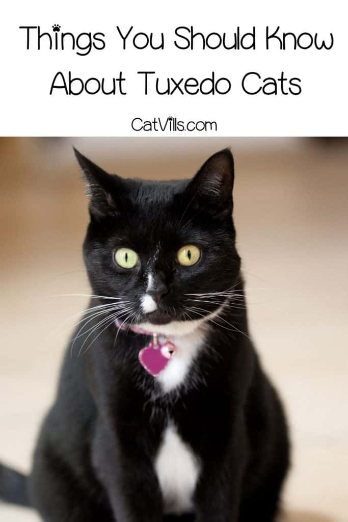 a beatufil tuxedo cat breed with pink heart collar