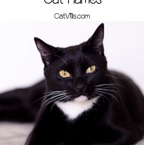 gorgeous Tuxedo cat