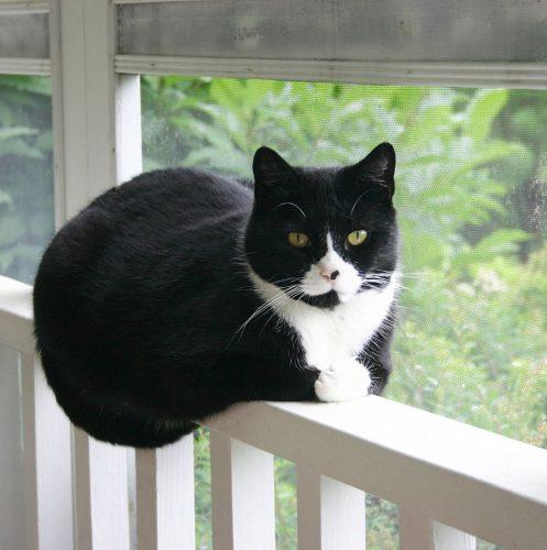 tuxedo cat on beside a glass window