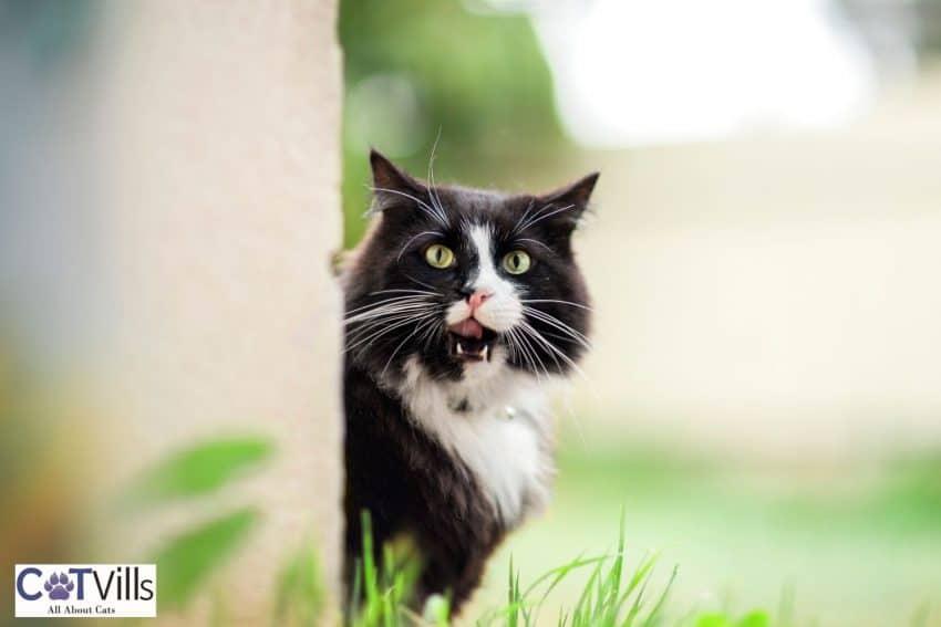 tuxedo cat growling behind the wall