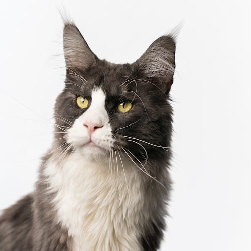 Maine coon cat with tuxedo pattern