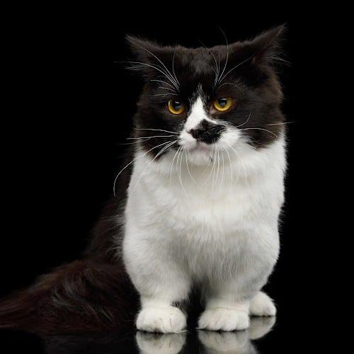 tuxedo munchkin cat
