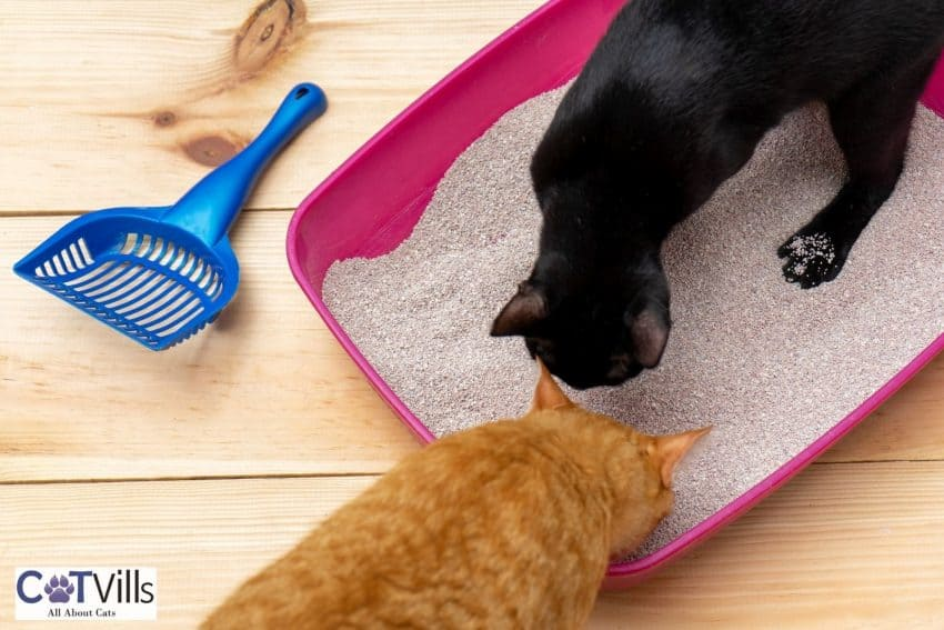 black and orange cat smelling the litter sands but why do cats eat litter?