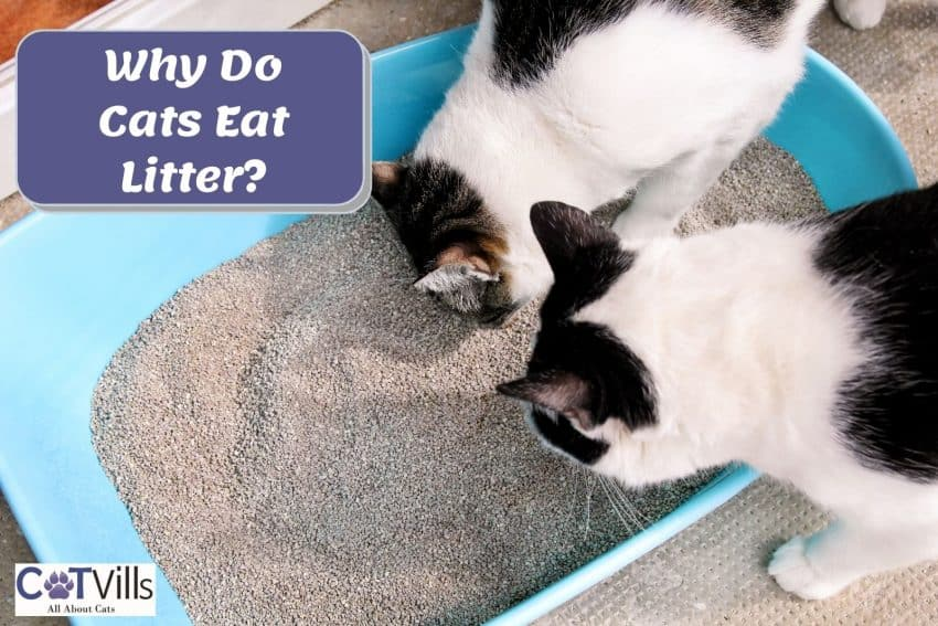 tuxedo cats eating the litter sands! but why do cats eat litter?