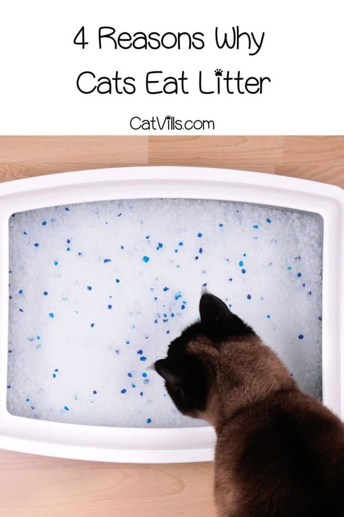 a cat about to eat his litter sand but why do cats eat litter?