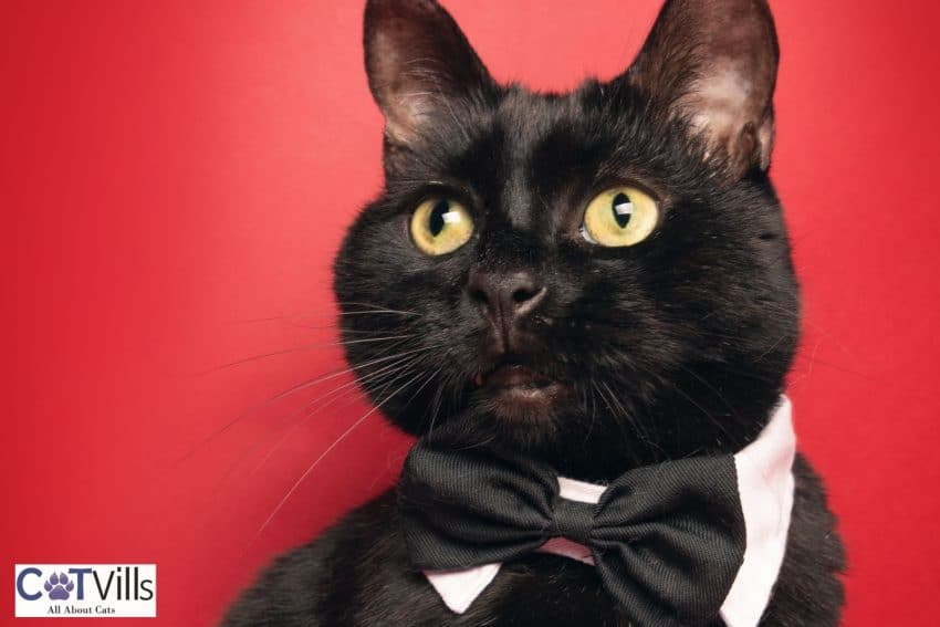 cute black cat with a black bow tie: he is perfect to have cat names that start with L