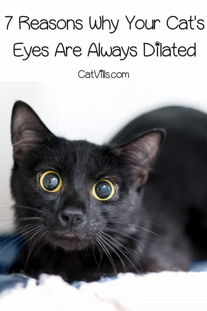 a cute bombay cat with dilated eyes