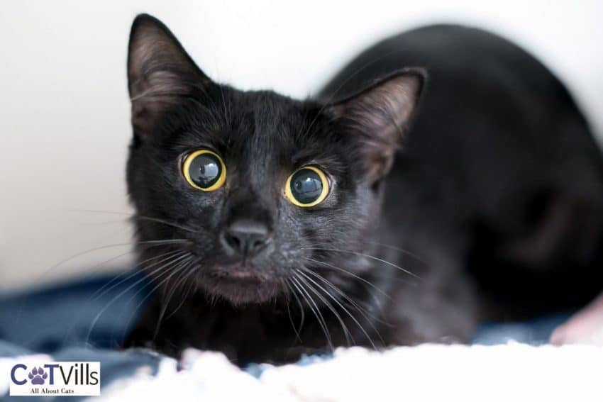 black kitten with dilated eyes