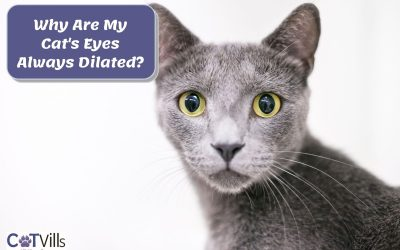 7 Reasons Why Your Cat's Eyes Are Always Dilated