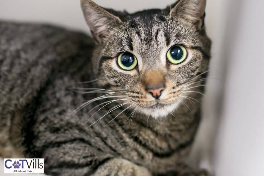 tiger cat with dilated eyes