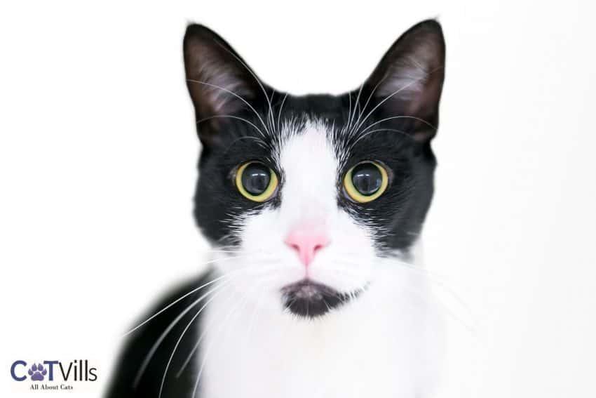 Tuxedo cat with large dilated pupils