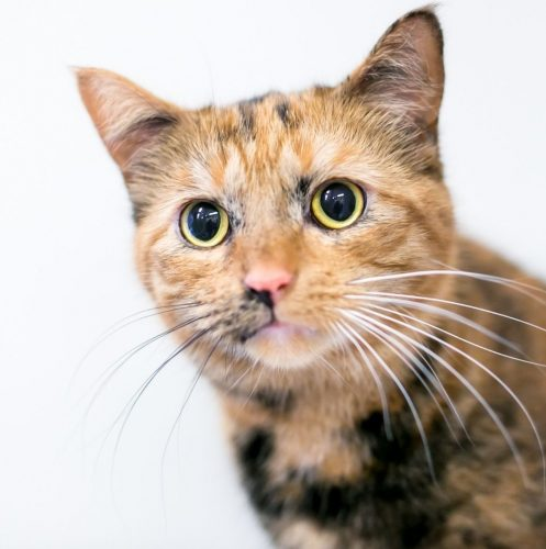 tortoiseshell cat looking somewhere with dilated pupils