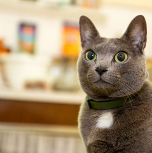 grey cat with dilated eyes