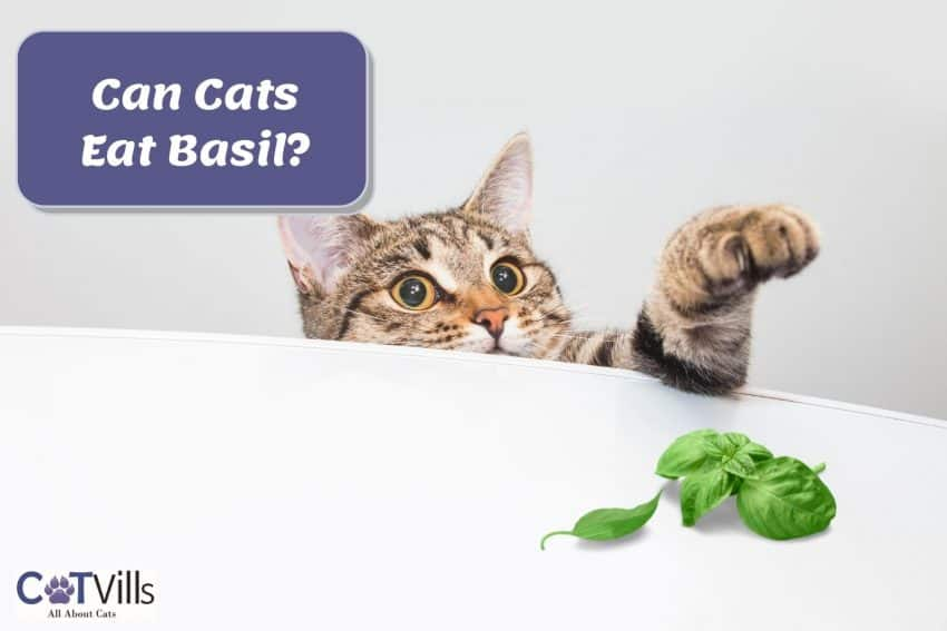 cat sneaking in to get the basil on the table but can cats eat basil?