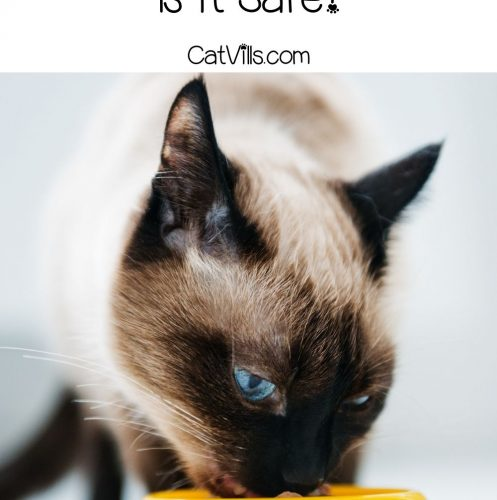 cat eating in his yellow bowl