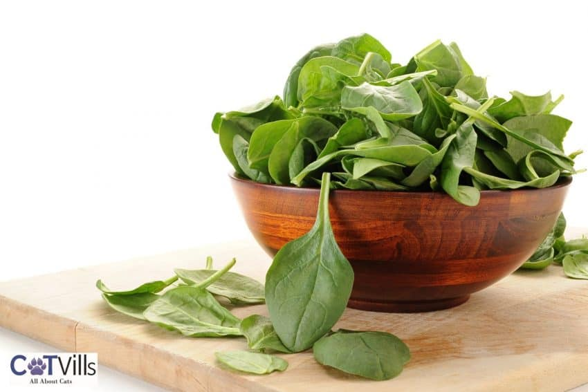 fresh spinach in a wooden bowl: can cats eat spinach?