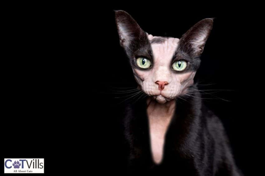 sphynx cat with black furry clothes