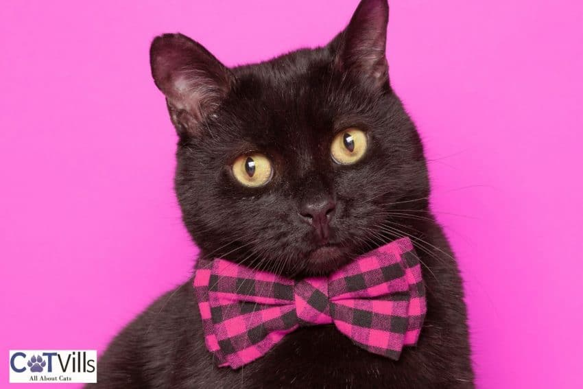 bombay cat with checkered pink bow tie