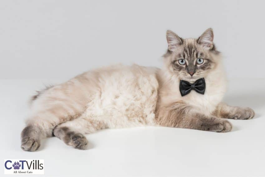 male cat with black bow tie