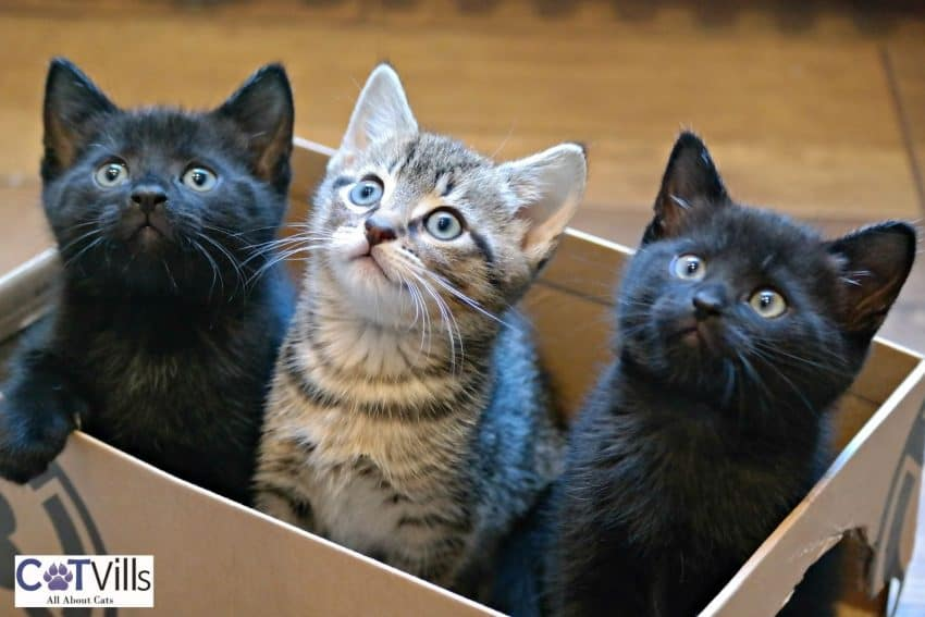 1 tiger kitten and 2 bombay kittens in a box