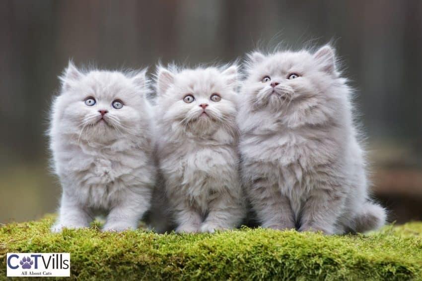 3 little identical grey kittens