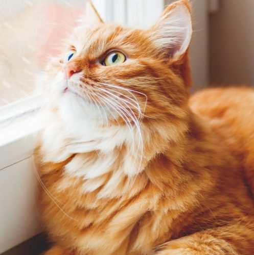 fluffy orange cat looking outside the window while it's raining