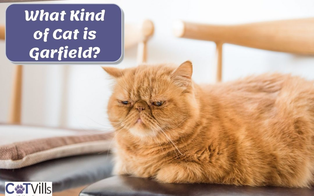 What Breed of Cat is Garfield?